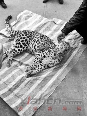 陕西黄陵发现一级保护动物金钱豹 已遭猎杀的图片