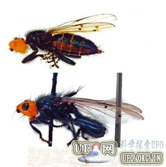 灭绝百年奇特苍蝇再现踪迹:喜欢腐烂尸体的图片 第1张