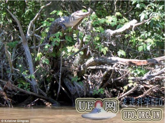 最新研究发现一些鳄鱼擅长爬树的图片 第1张