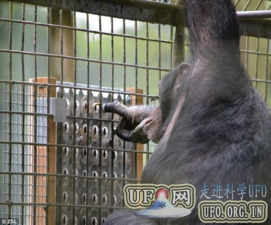 科学家发现黑猩猩解决难题只为好玩(图)的图片 第1张