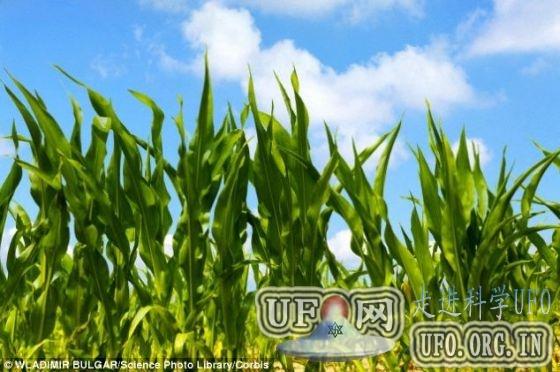 欧盟将批准商业种植转基因抗虫玉米 19国反对的图片 第3张