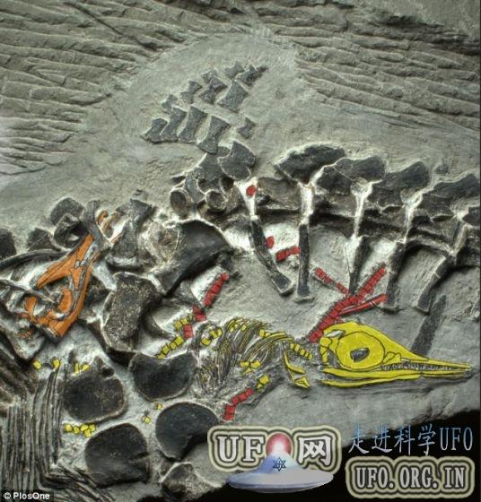 中国安徽发现生育过程中丧生最古老鱼龙化石的图片 第2张