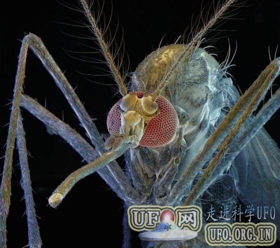 视频展示蚊子吸血可怕细节:口器灵活柔软的图片 第2张