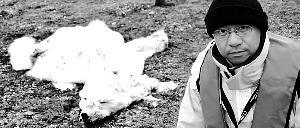 瘦成毛毯北极熊照被热炒 见证者称为老死的图片