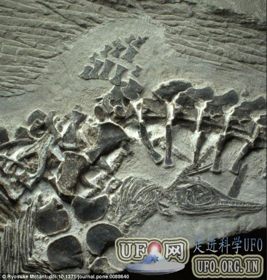 中国安徽发现生育过程中丧生最古老鱼龙化石的图片 第1张