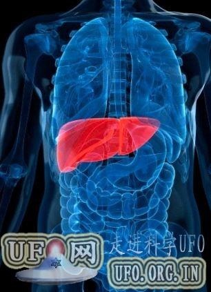 科学家老鼠大脑种出小肝脏:未来或可器官移植的图片 第1张
