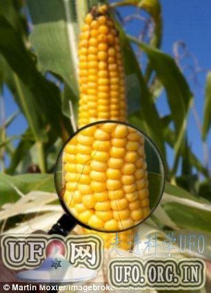欧盟将批准商业种植转基因抗虫玉米 19国反对的图片 第1张