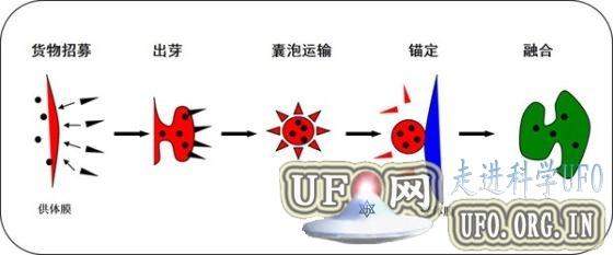 深度解读2013诺贝尔奖:囊泡运输的调控机制的图片