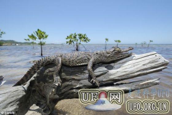 最新研究发现一些鳄鱼擅长爬树的图片 第3张