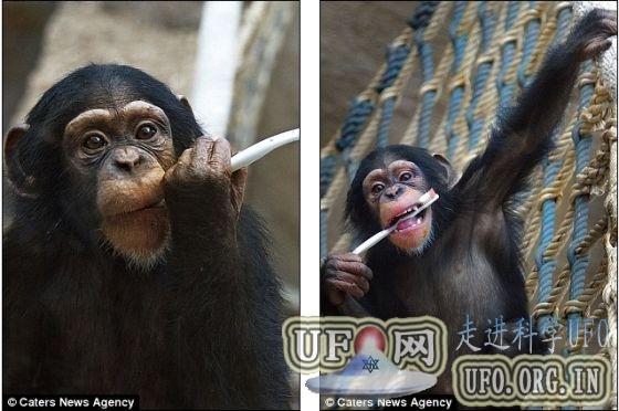 科学家发现黑猩猩解决难题只为好玩(图)的图片 第3张