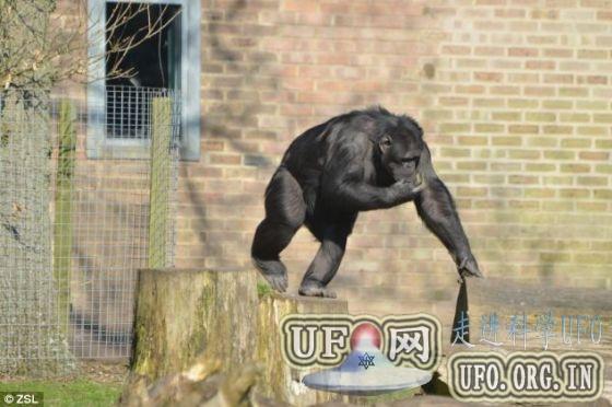 科学家发现黑猩猩解决难题只为好玩(图)的图片 第2张
