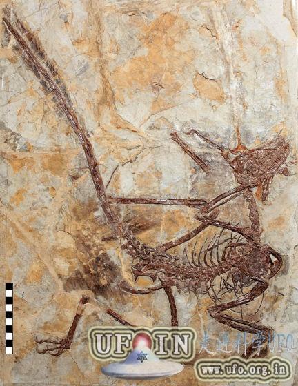 辽宁省发现飞行恐龙化石:鸽子大小会吃鱼的图片 第2张
