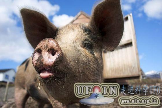 新研究发现转基因作物影响生猪健康的图片
