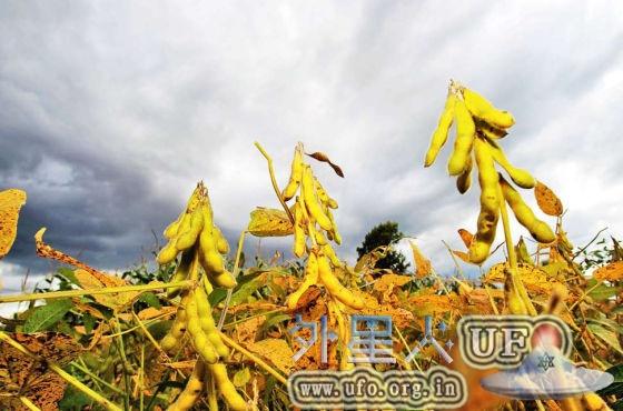 中国大豆的曾经与现实:非转基因成保护伞的图片