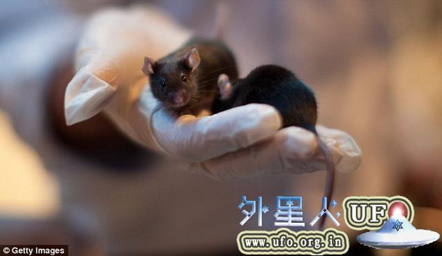 科学家把人脑基因转入老鼠 使其智商飞跃