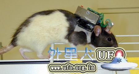 科学家利用电子芯片技术遥控瘫痪老鼠行走