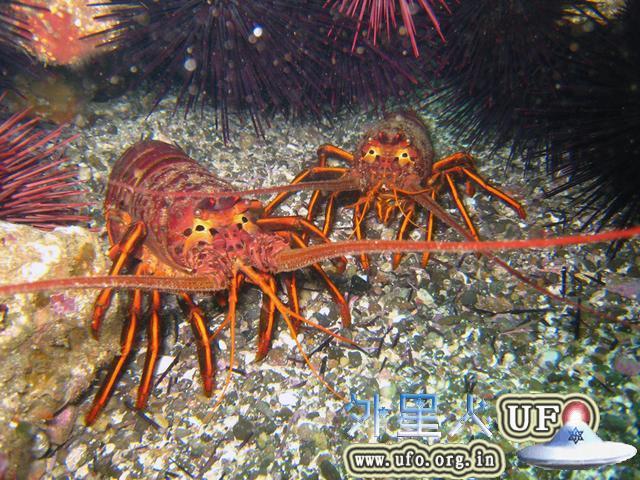 """龙虾的年龄也可通过数""""年轮""""得出"""