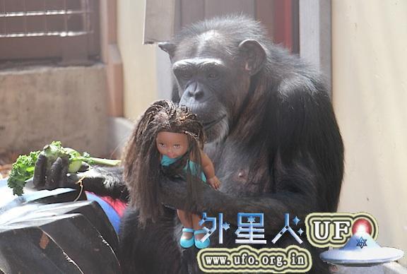 研究称:黑猩猩具有非常强烈的社交天性