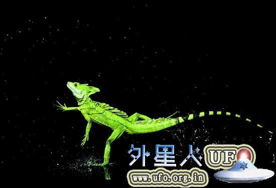 图为水面奔跑的绿双冠蜥(Basiliscus plumifrons////),拍摄于哥斯达黎加。这种蜥蜴身长可以生长至60厘米以上,包含长尾巴在内。就是这位高手拥有高速旋转拍水的惊人脚功。 第1张