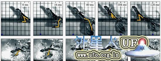 以上为高速摄像机拍摄的绿双冠蜥(20.8克)水面奔跑图(奔跑速度为每秒1.4米)。左脚的形状用黄线表示。背景方格间隔为2厘米。为了看清移动的距离,我们在相同的位置用深蓝色圆点标记。图下方的粗箭头表示左脚的移动,数字表示脚每旋转拍打一次的时间内脚的不同动作所占的时间比(实验中体重在2.8~78克范围内的11只绿双冠蜥的平均值)。右脚的移动要慢半周(S.Tonia Hsieh, The journal of Experimental Biology,206,p4363-4377,2003)。 第2张