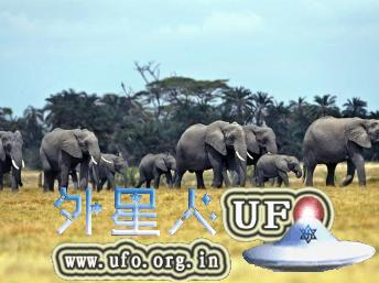 非洲草原上的非洲象 第2张