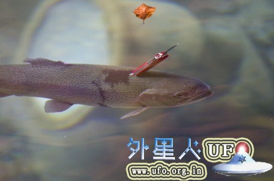 在瑞士蓝湖,一条鳟鱼的头后方插了一把红色的瑞士军刀,仍在水中游动。 第1张