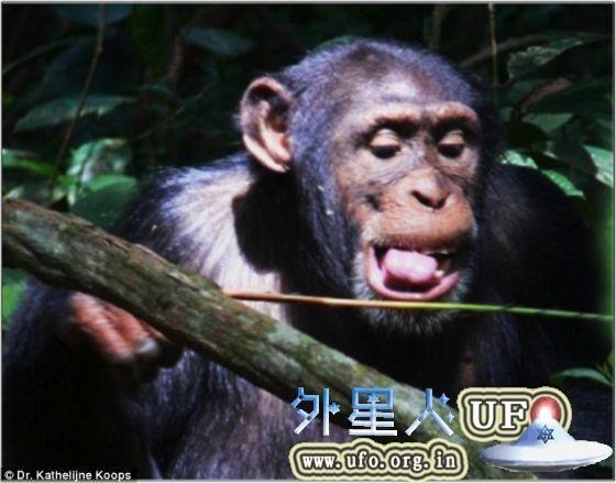 在几内亚的西非黑猩猩会四处寻找一种名为Alchornea hirtella的细长灌木的直状嫩枝,这是它们捕食带有侵略性的行军蚁(army ants)的理想工具。 第1张