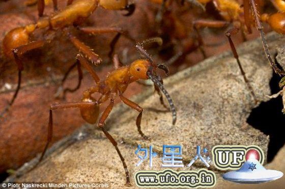 当黑猩猩发现一个行军蚁群时,它们会先用前一个工具挖出巢穴,然后再用后一个工具伸进巢穴,这时愤怒的蚂蚁便会蜂拥爬上来。 第2张